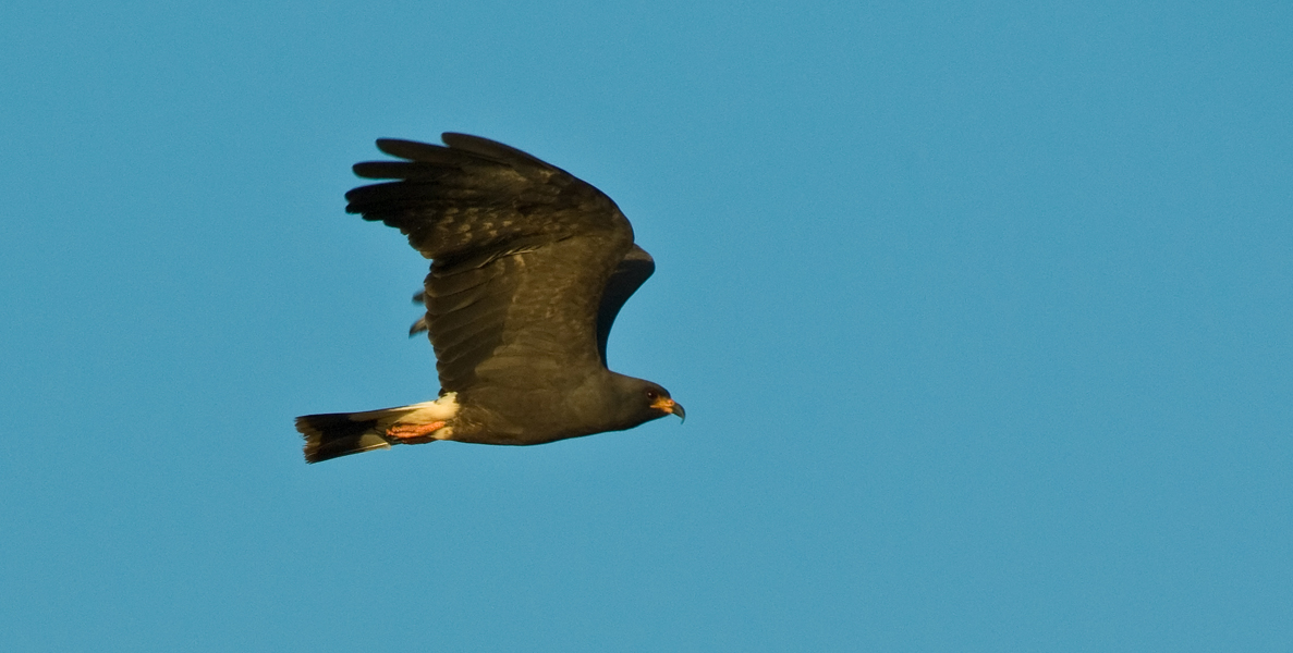 igp edit male snail kite gwps author watson r richard