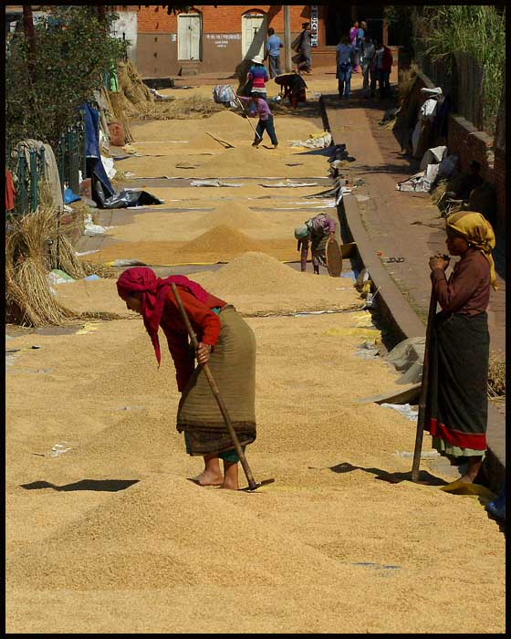 drying rice on the streets of bhaktapur author do downs jim