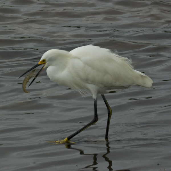 ddnwr snowy egret author watson richard