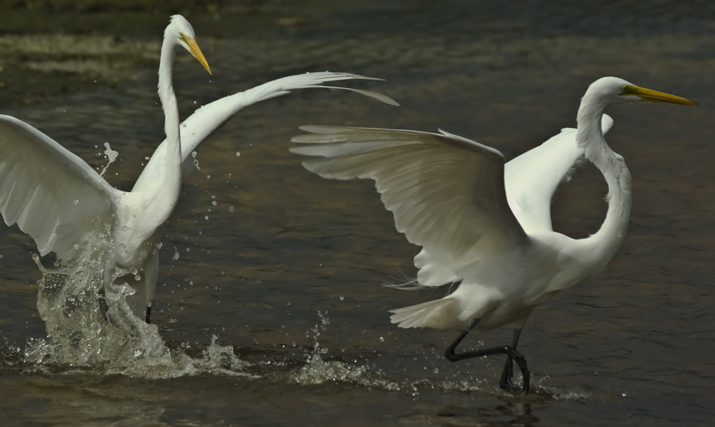 ddnwr egrets fighting author watson richard