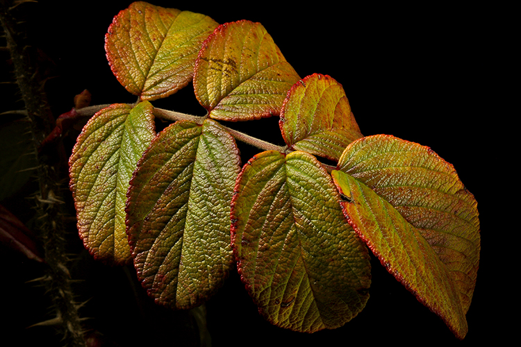 rugosa leaves dec author sava gregory and vere verena
