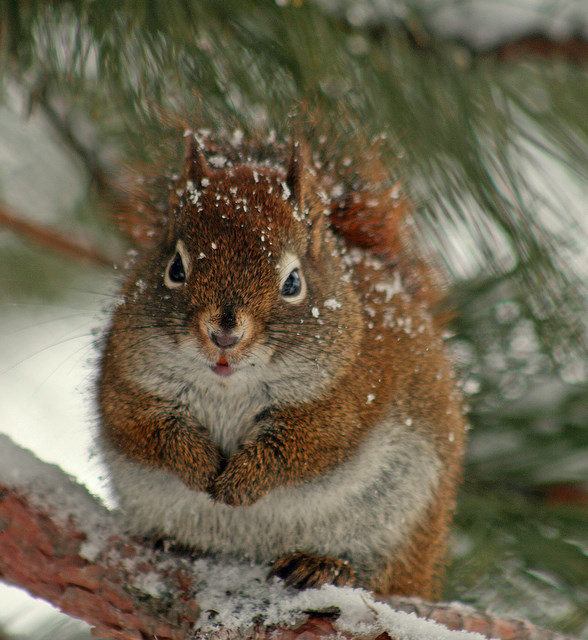 red squirrel in pine tree author pluskwik paul