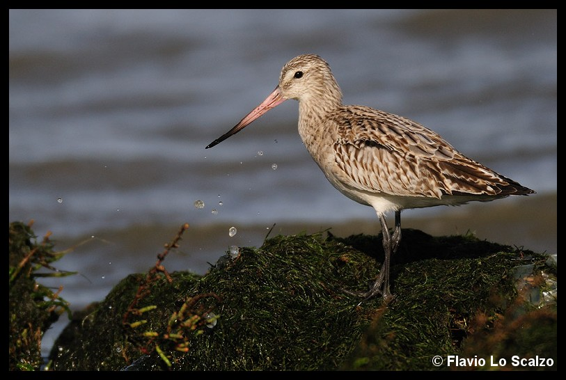 limosa lapponica bar tailed godwit author lo sc scalzo flavio