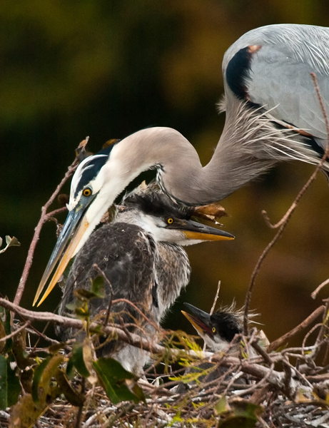 wakodahatchee gbh mom and chicks author watson r richard