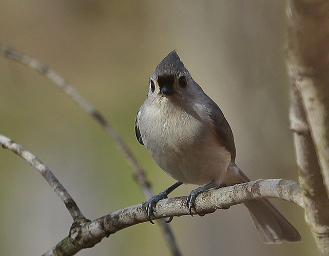 tufted titmouse author sava gregory and verena