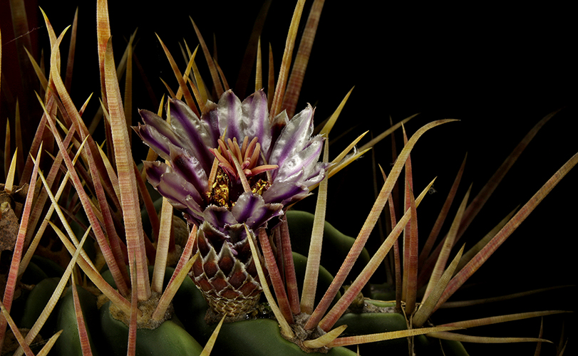bloom amongst the spikes author sava gregory a and verena