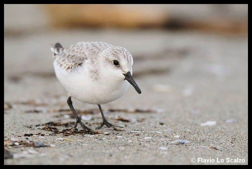 calidris alba sanderling photo taken in tuscany lo scalzo flavio