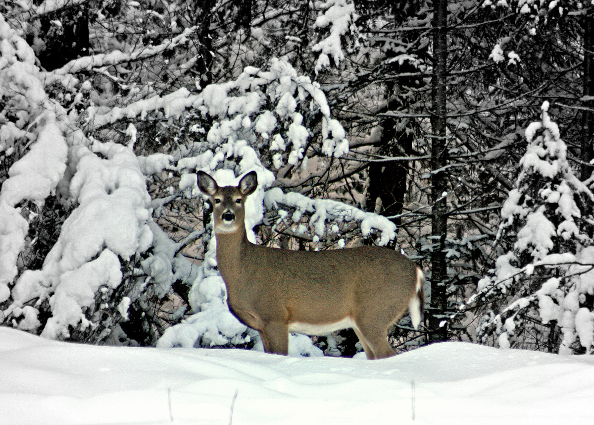 whitetail deer on the edge of woods author pl pluskwik paul