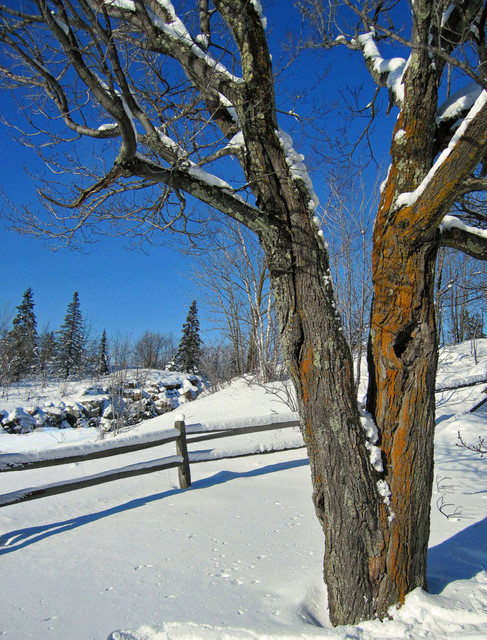 old maple tree and fence author pluskwik paul