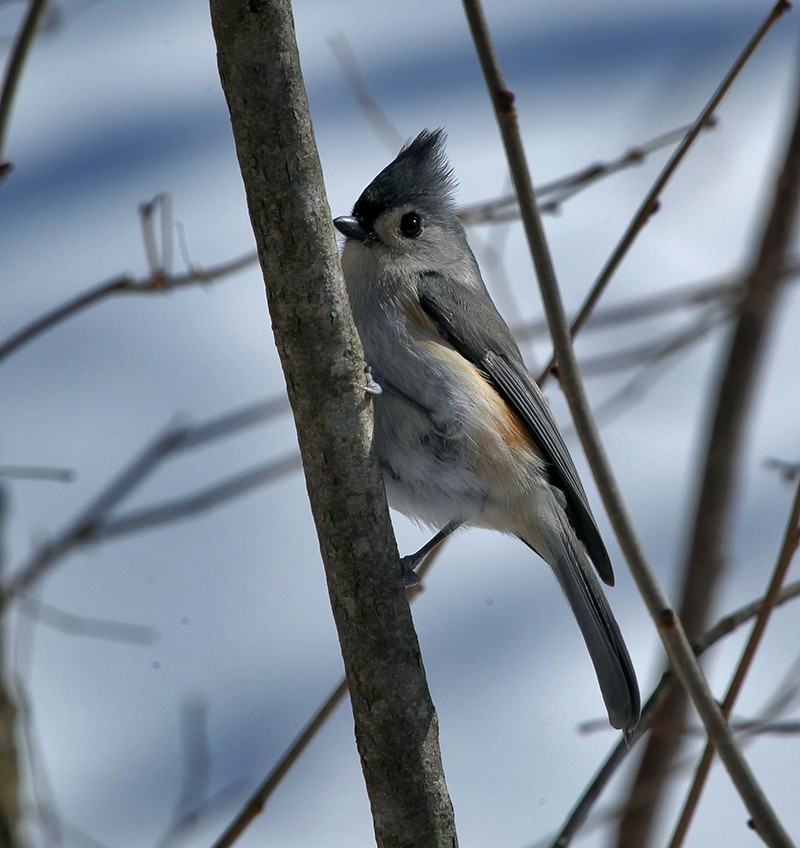 nuthatch img abpn author sava gregory and verena
