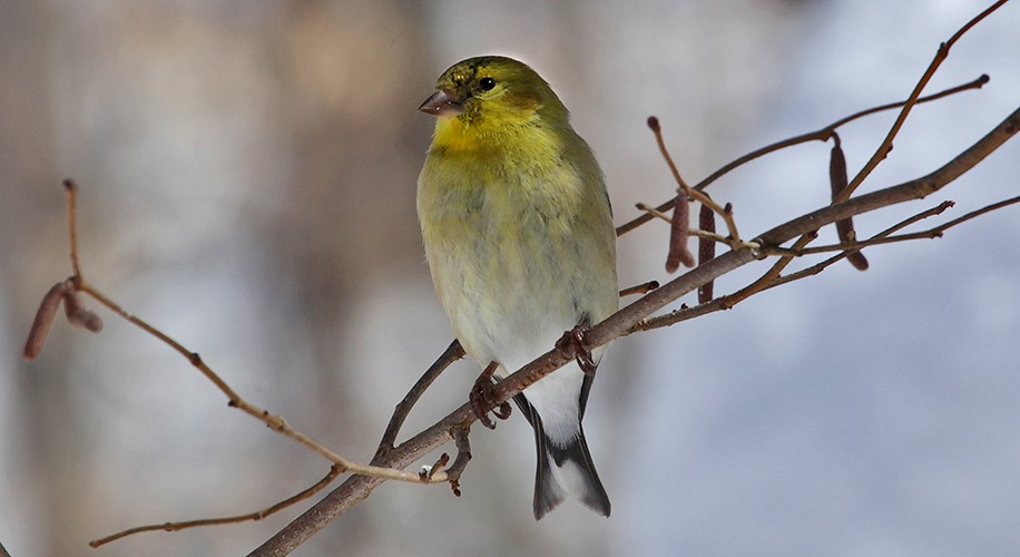 american goldfinch img aw author sava gregory an and verena