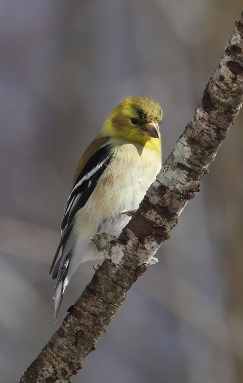 american goldfinch img aw author sava gregory and verena