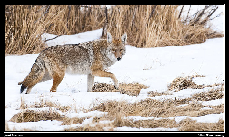 coyote leg up author gricoskie jared