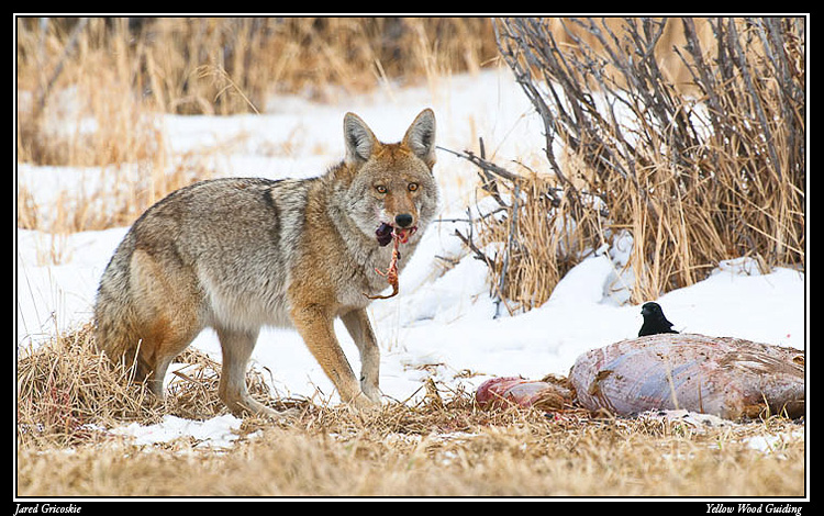 coyote at gut pile author gricoskie jared
