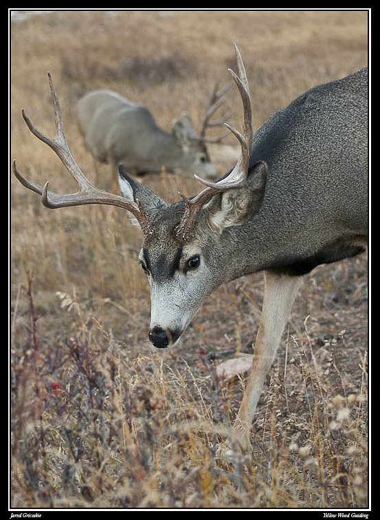 mule deer over the shoulder author gricoskie jare jared