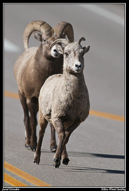big horn sheep love on the run author gricoskie j jared
