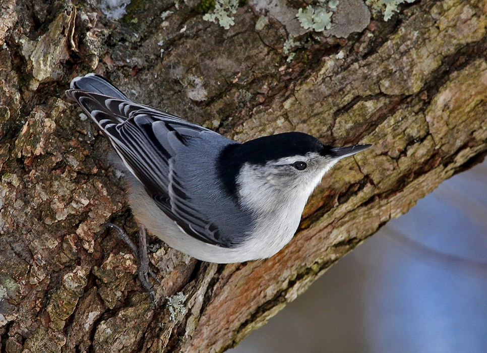 nuthatch img aw author sava gregory and verena