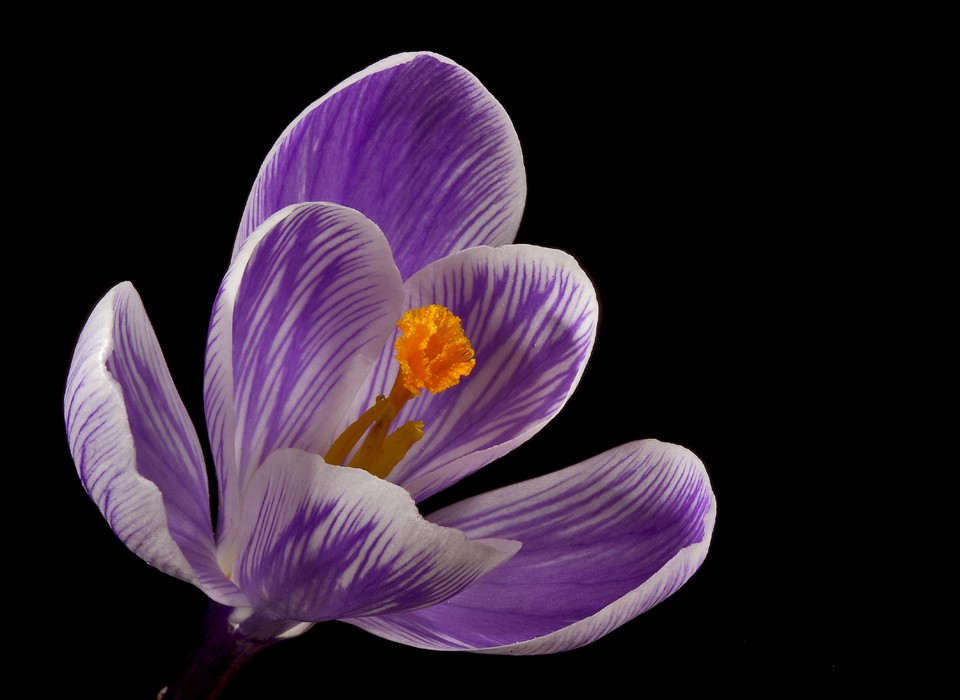 pinstriped crocus img abw author sava gregory and verena