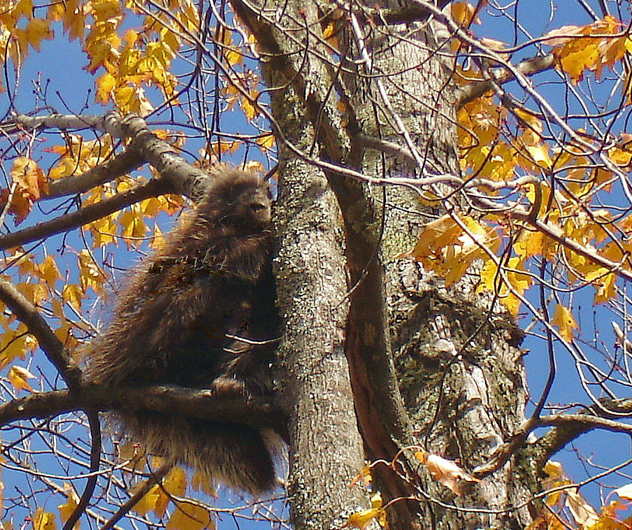 porcupine in a maple tree author pluskwik paul
