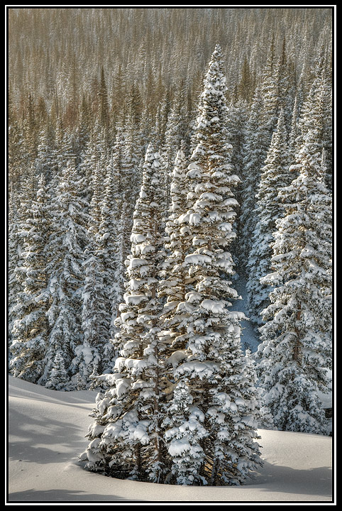 spruce tree in snow author gricoskie jared