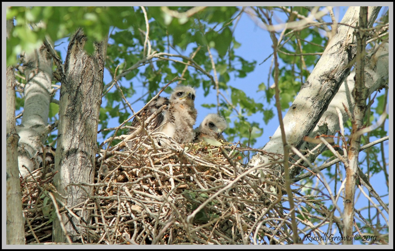 red tail hawk baby s big morongo author greaves r russell