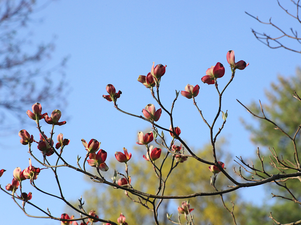 pink dogwoods starting to open author kelly landr landrum