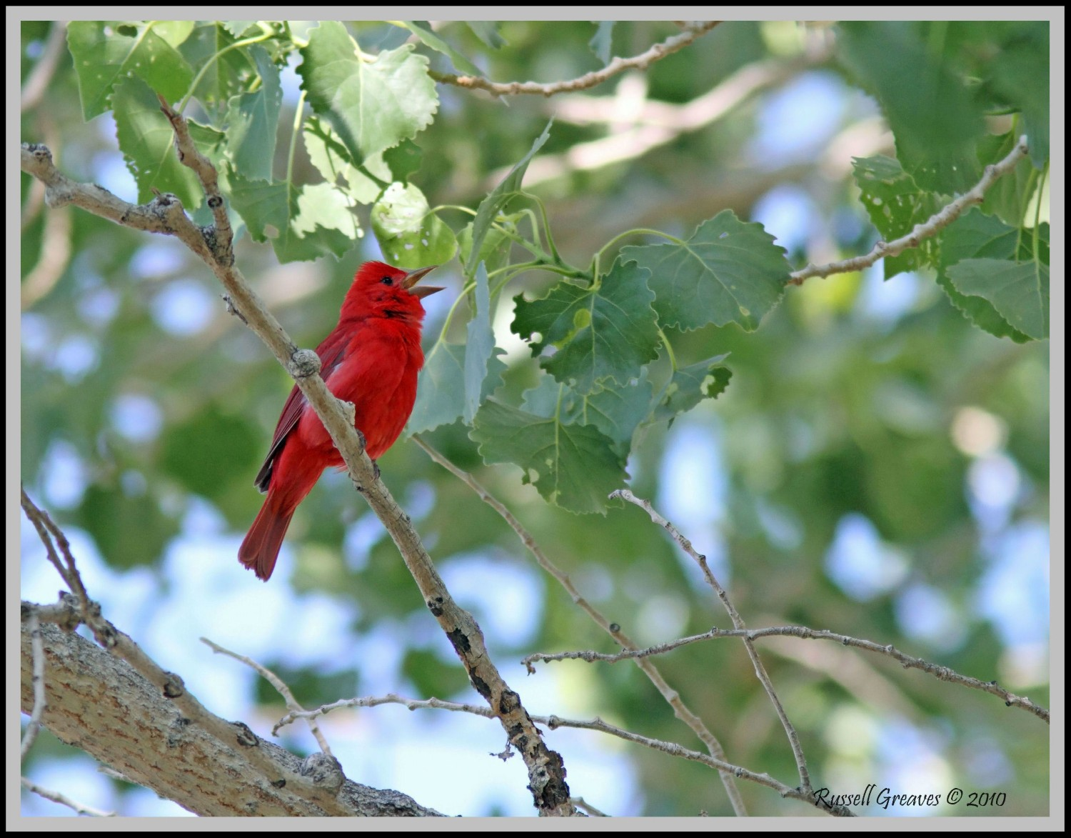 summer tanager male big morongo author greaves ru russell