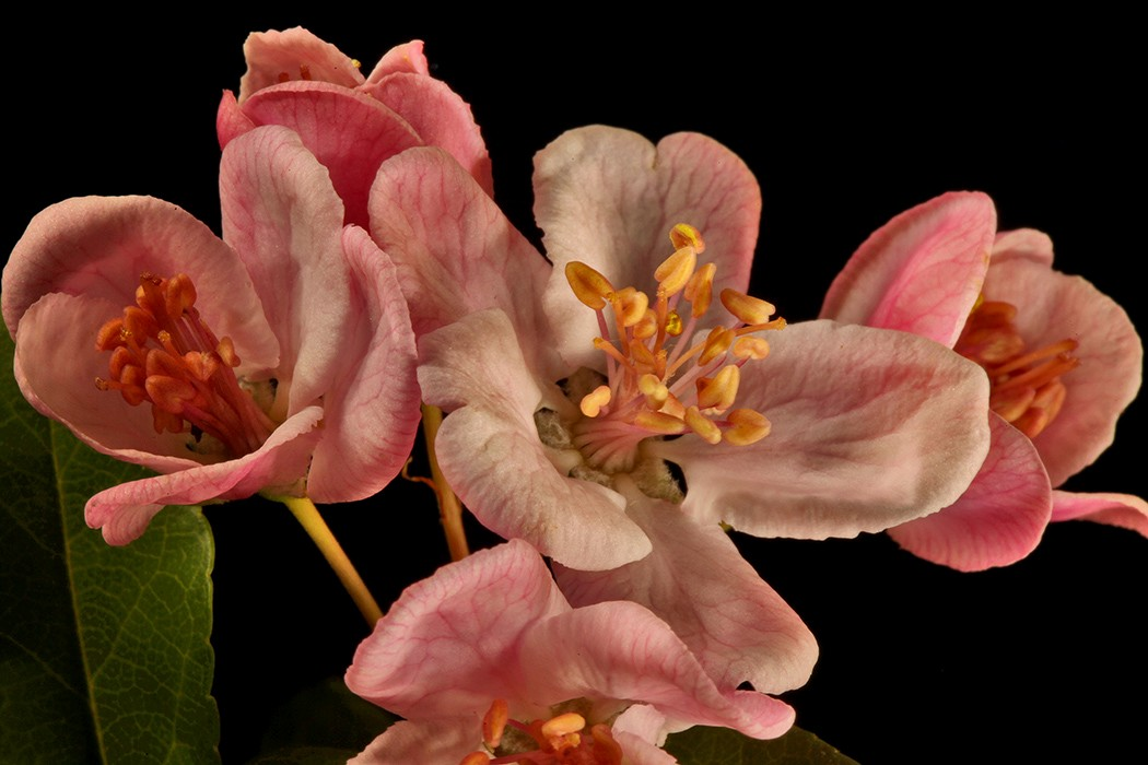crabapple blossoms img aw author sava gregory and verena