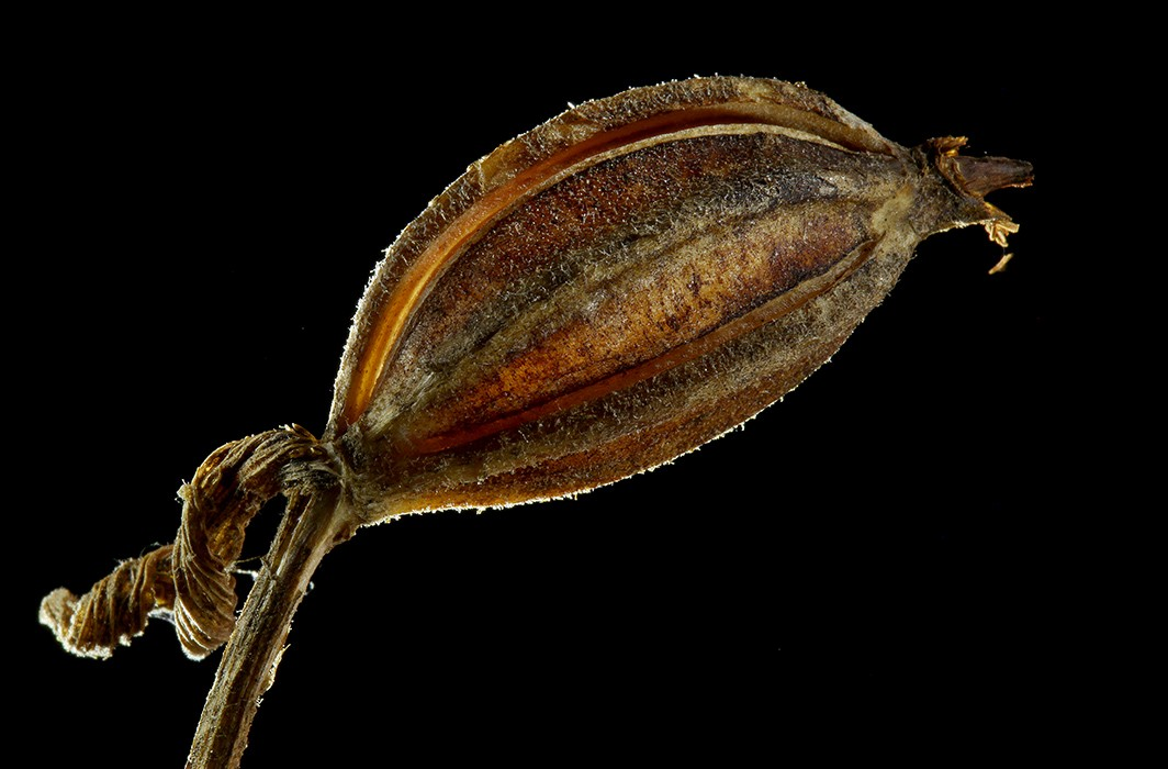 lady slipper seed pod img aw author sava gregory and verena