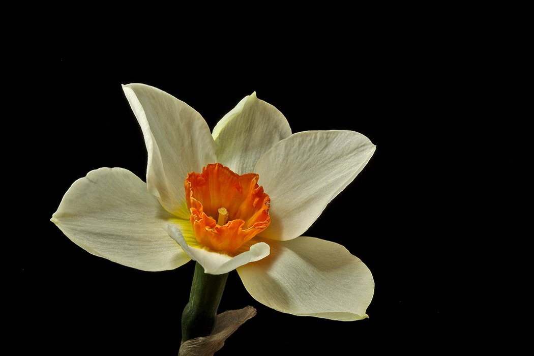 red centered daff img aw author sava gregory and verena
