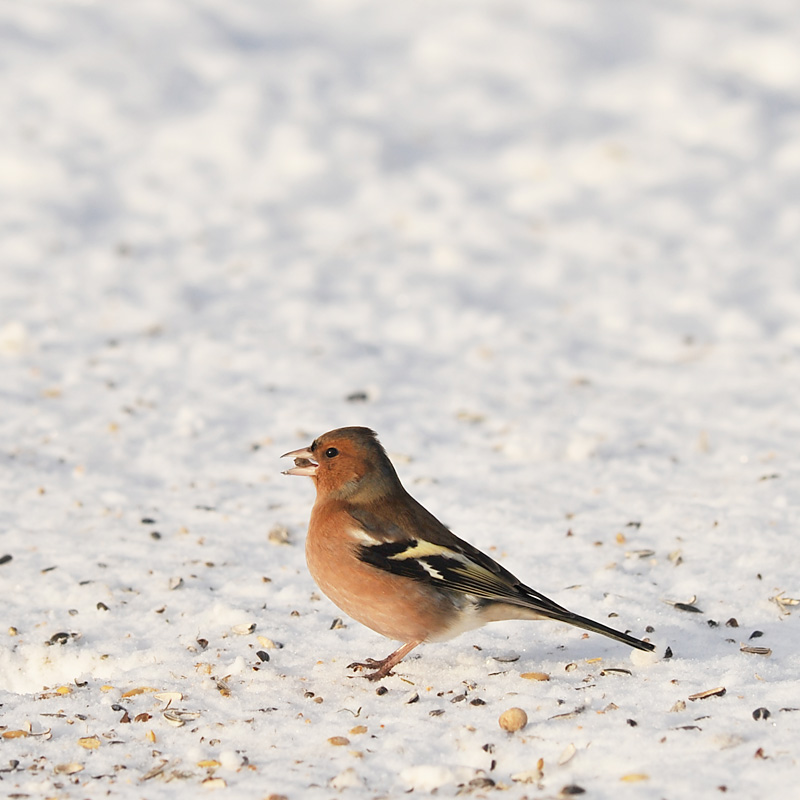 chaffinch author nordborg nicklas