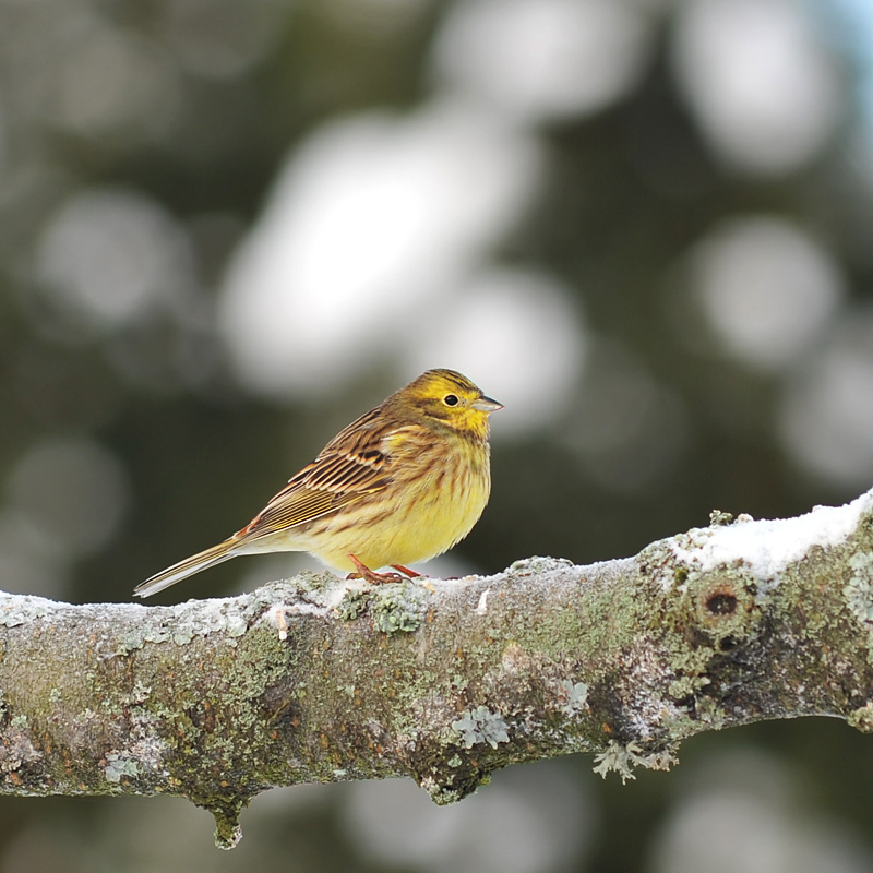 yellowhammer author nordborg nicklas