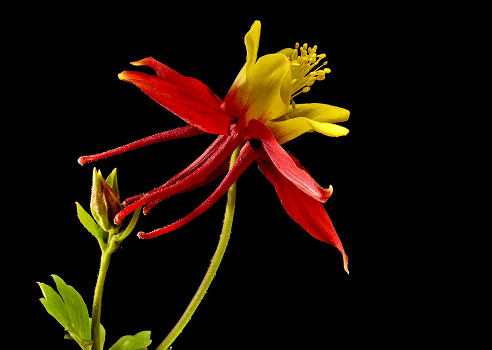 bud in tow columbine img aw author sava gregory and verena