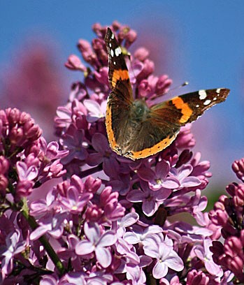 butterfly on the lilac author pluskwik paul