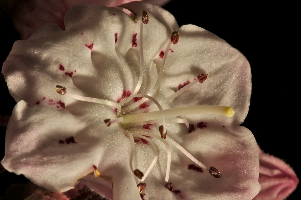 mountain laurel img aw author sava gregory and ve verena