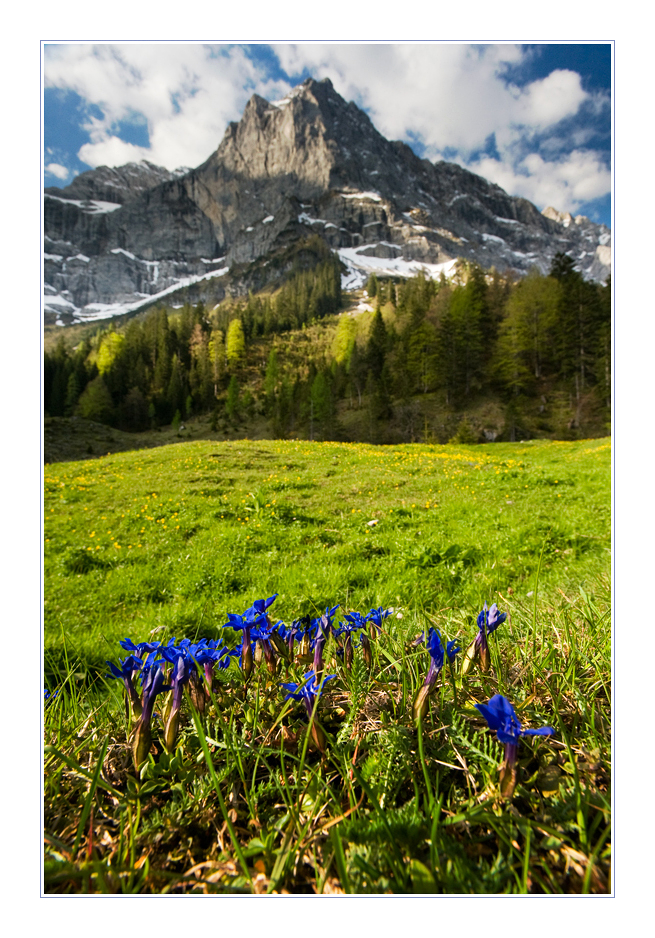 gentian morning author grivins sandris