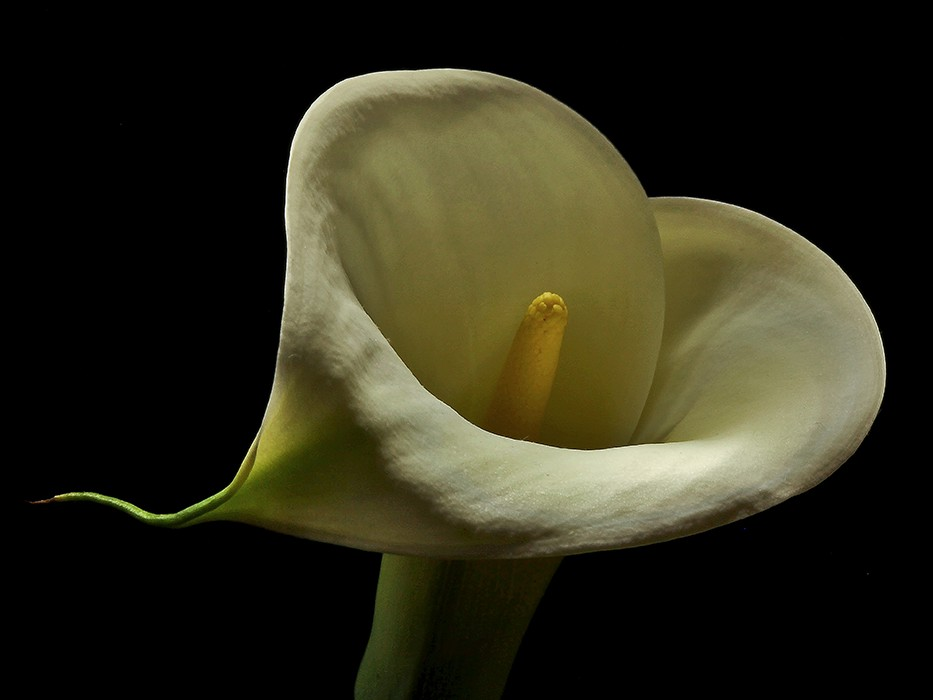 calla unfurled img aabw author sava gregory and v verena