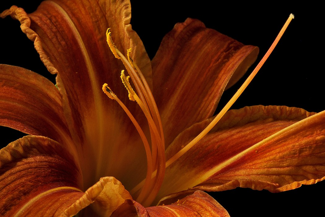 day lily img aw author sava gregory and verena