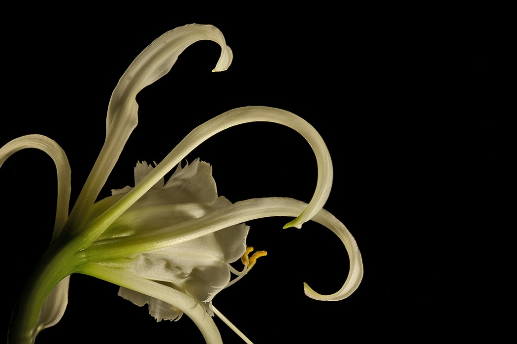 peruvian daffodil img aw author sava gregory and verena