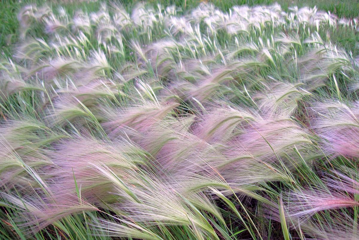 fox tail grass blowing in the summer wind author pluskwik paul