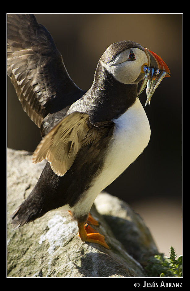 atlantic puffin author arranz jess