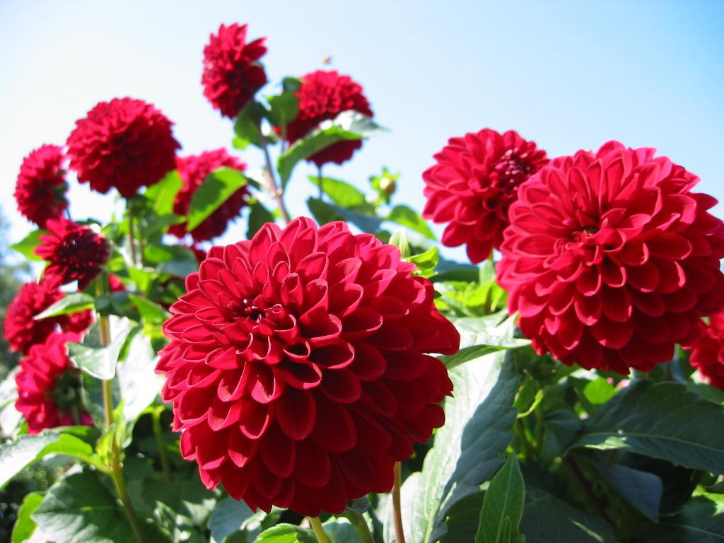 red dahlias at elizabeth park hartford author bar barman dilip
