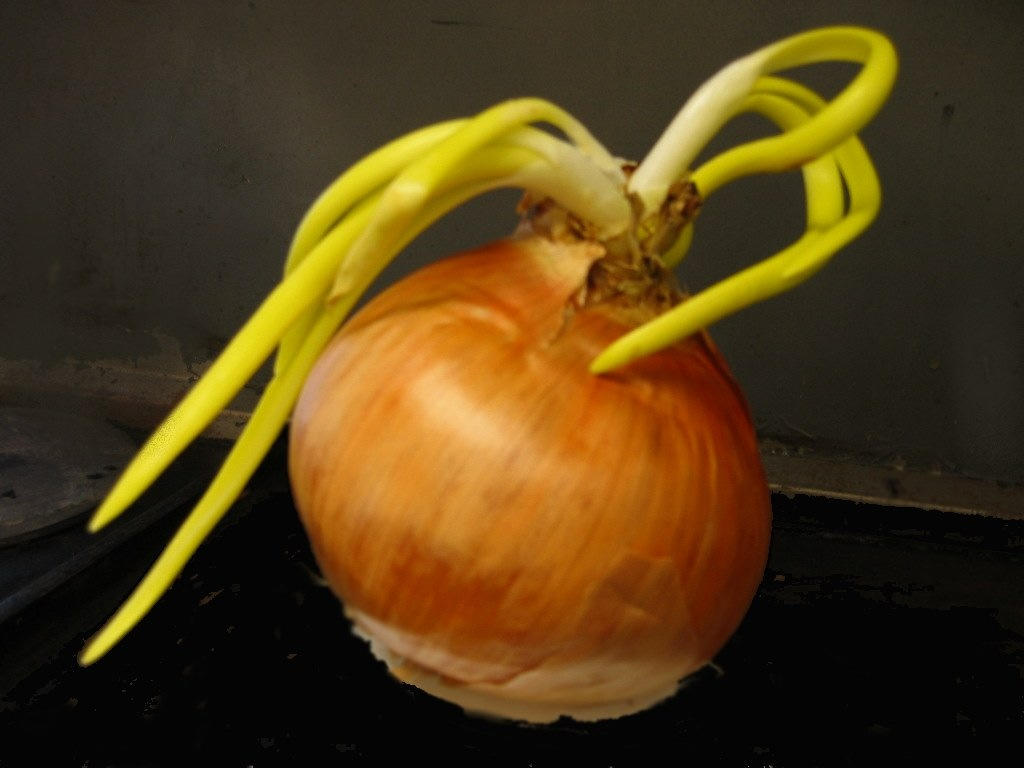 still life onion i took this during one of my co barman dilip
