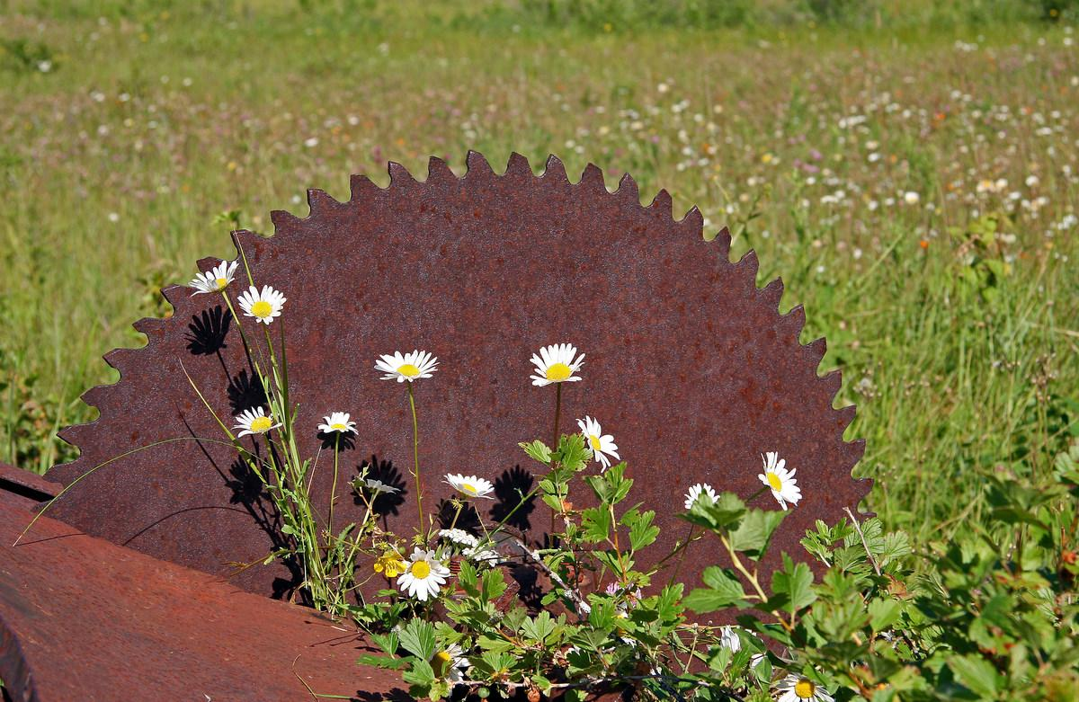 old sawmill blade and wild flowers author pluskwi pluskwik paul