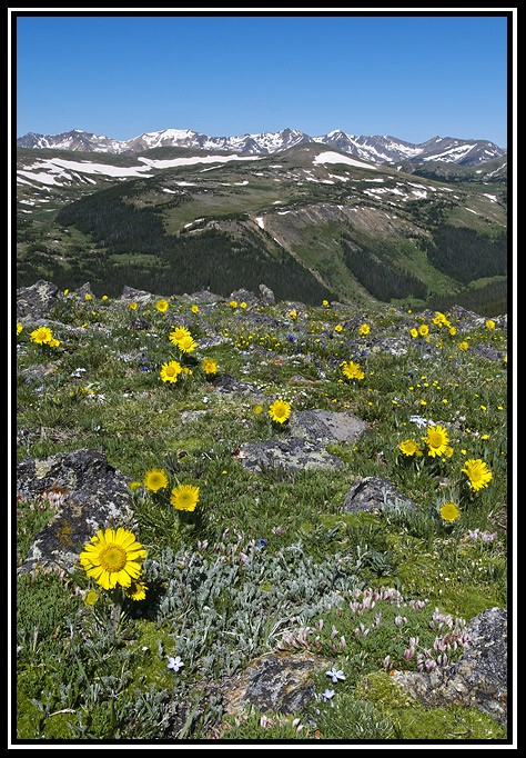 alpine sunflowers under never summer author grico gricoskie jared