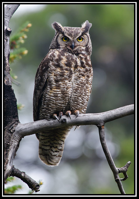 great horned owl author gricoskie jared