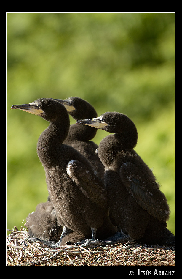 phalacrocorax aristotelis author arranz jess