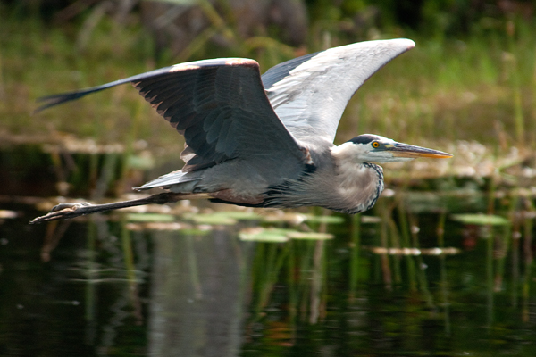 great blue in flight author watson richard