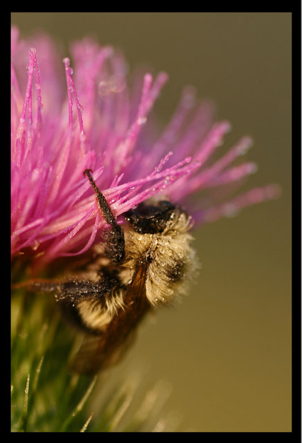 bee in the bull thistle author pluskwik paul