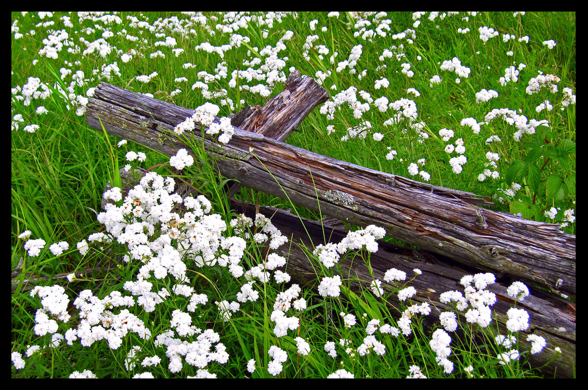 old fence and wild flowers author pluskwik paul